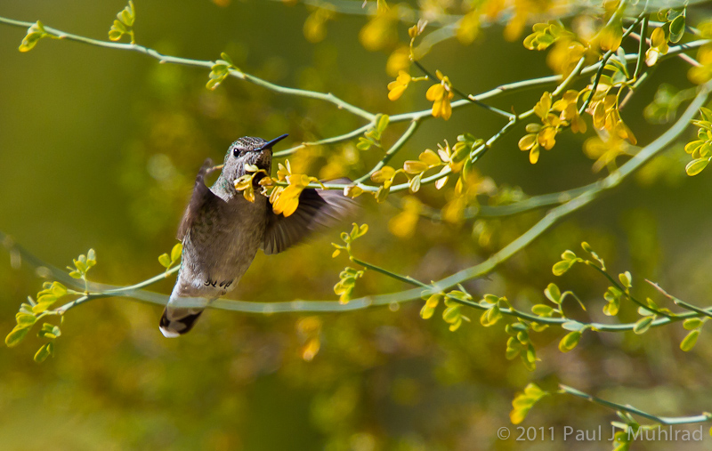 Hummingbird at Palo Verde