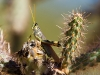 Grasshopper on Cholla